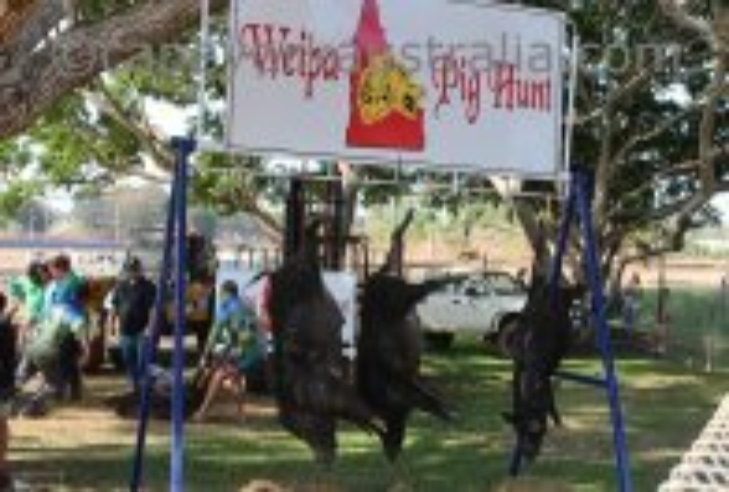 weipa pig hunt