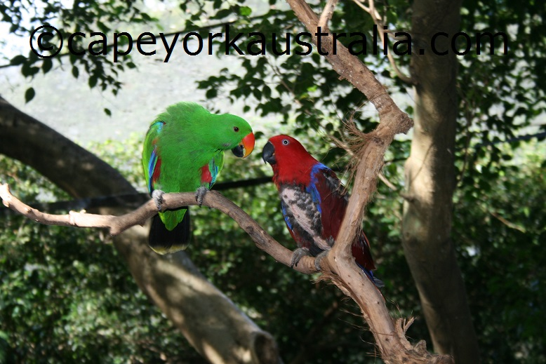 eclectus parrots