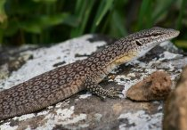 black tailed monitor