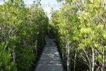 cairns mangrove walk