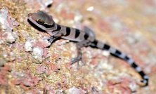 ring tailed gecko