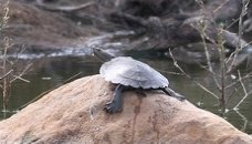 saw shelled turtle