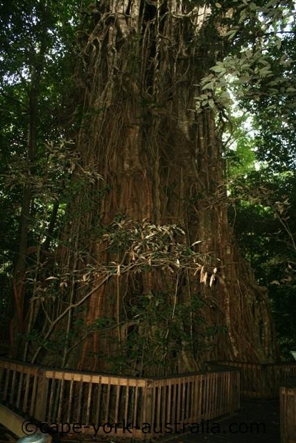 clohesy river fig tree