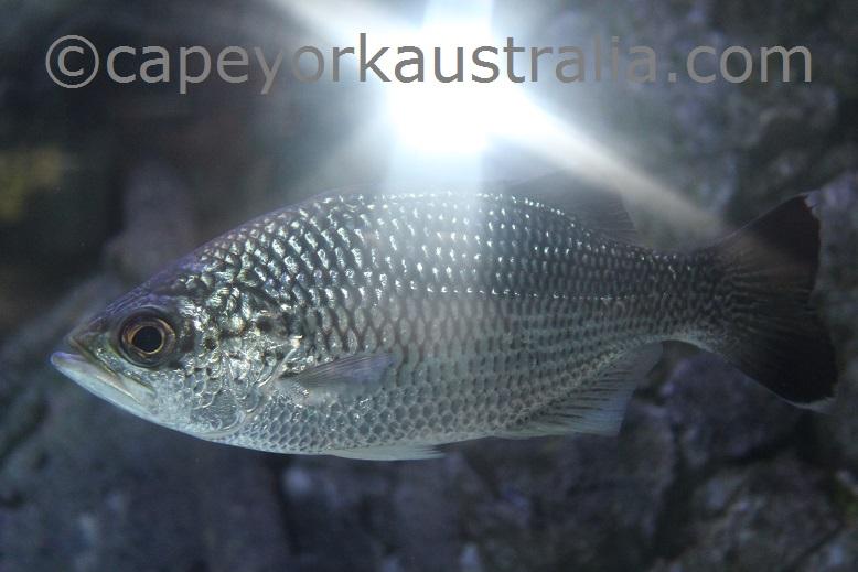 cairns aquarium creek fish