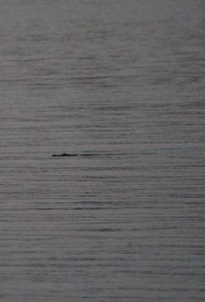 pennefather river crocodile