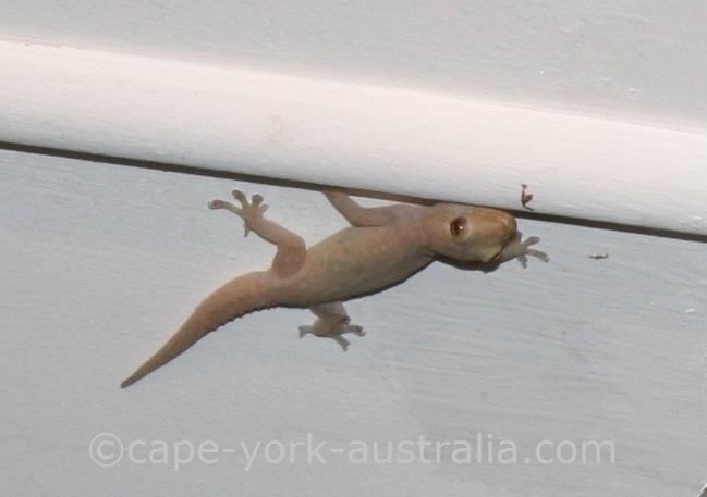 house gecko lizard