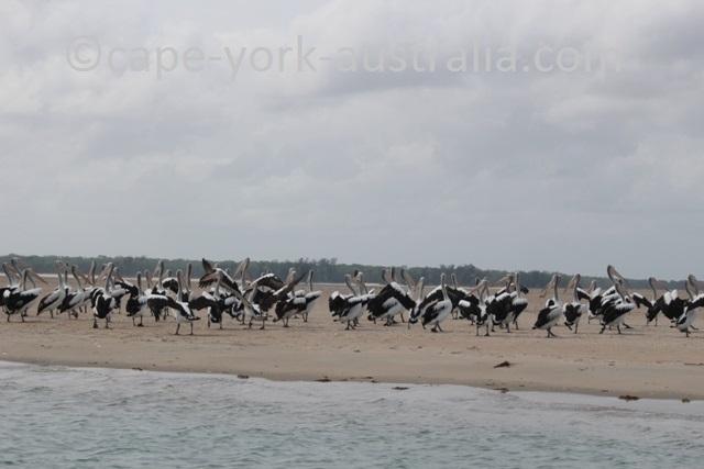 crab island pelicans