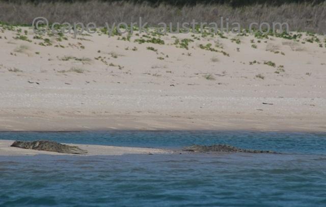 crab island saltwater crocodiles