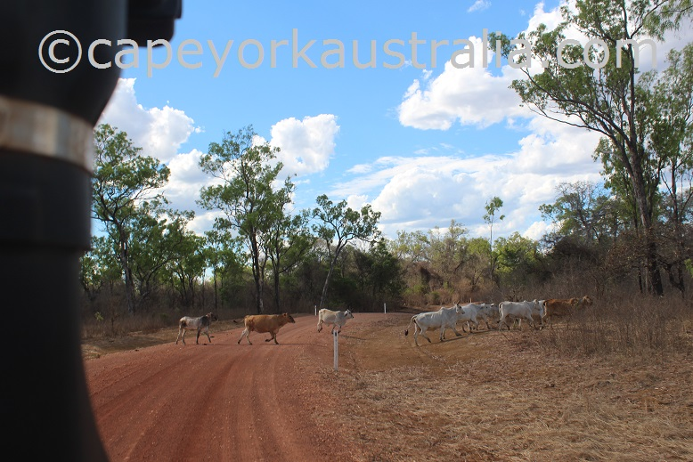 kendall river road cattle