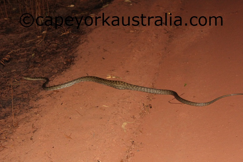 amethystine python morelia