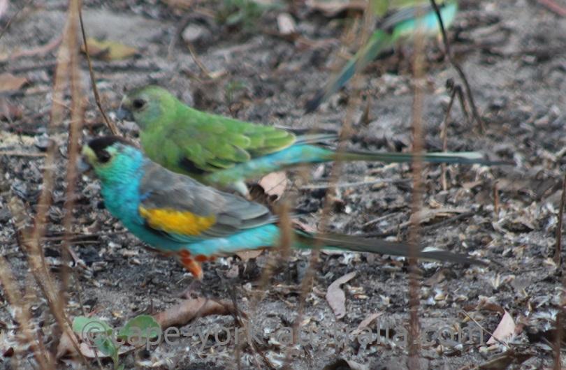 golden shouldered parrots
