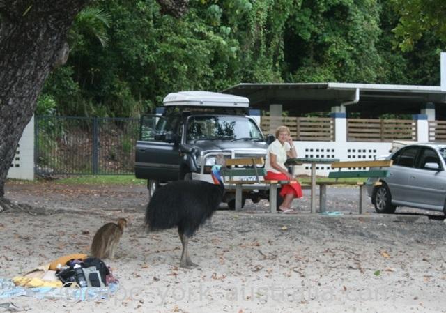 cassowary attack