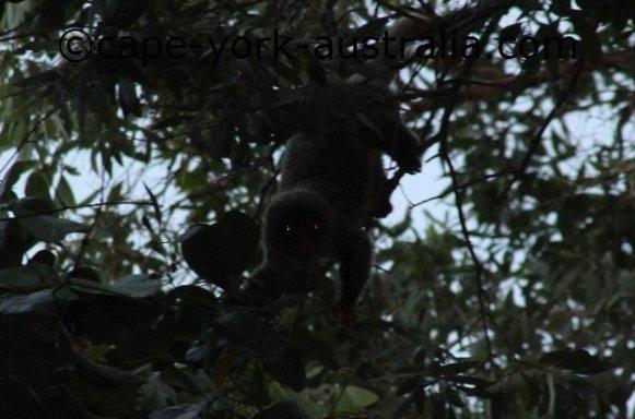 common cuscus