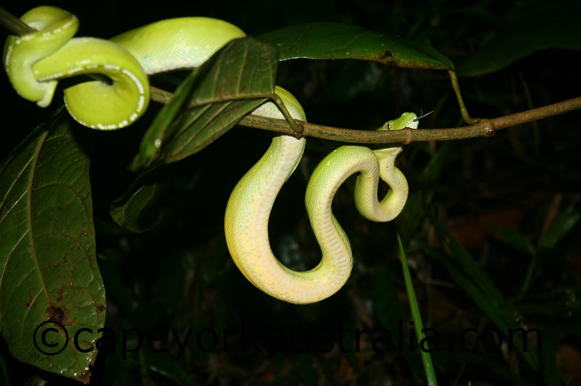 green tree python iron range national park