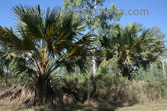 zamia palms