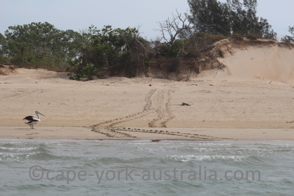 crab island turtle track