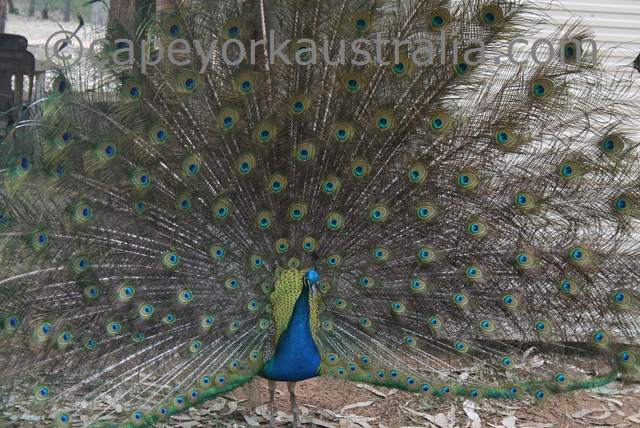 hann river roadhouse peacock
