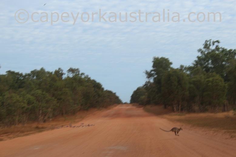 kangaroos driving hazard