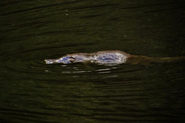 platypus habitat