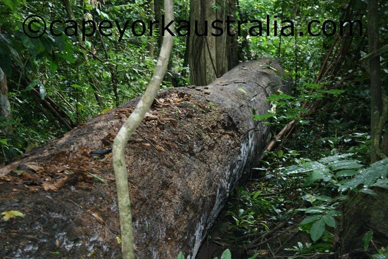 smugglers tree