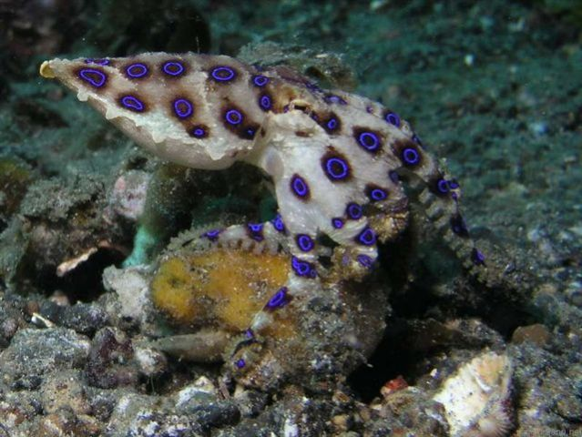 blue ringed octopus appearance