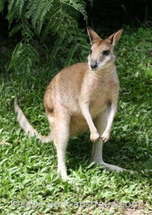 agile wallaby