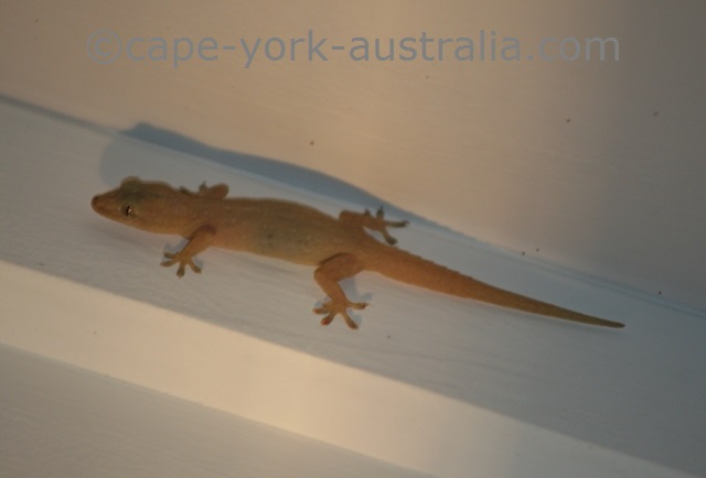 asian house geckos