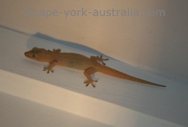 asian house geckos