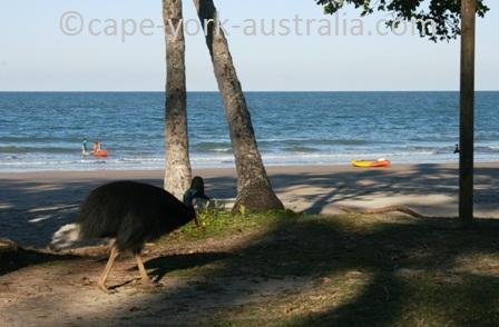 australian cassowary