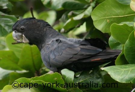 australian cockatoos