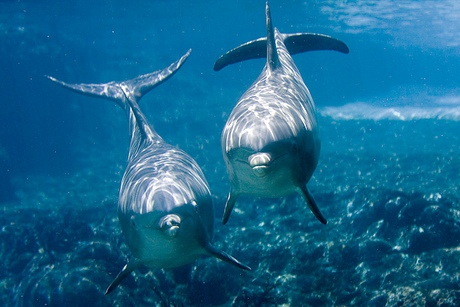 australian dolphins