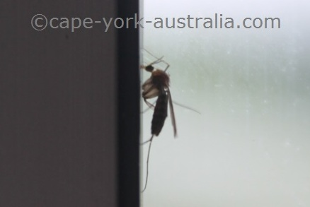 australian mosquito
