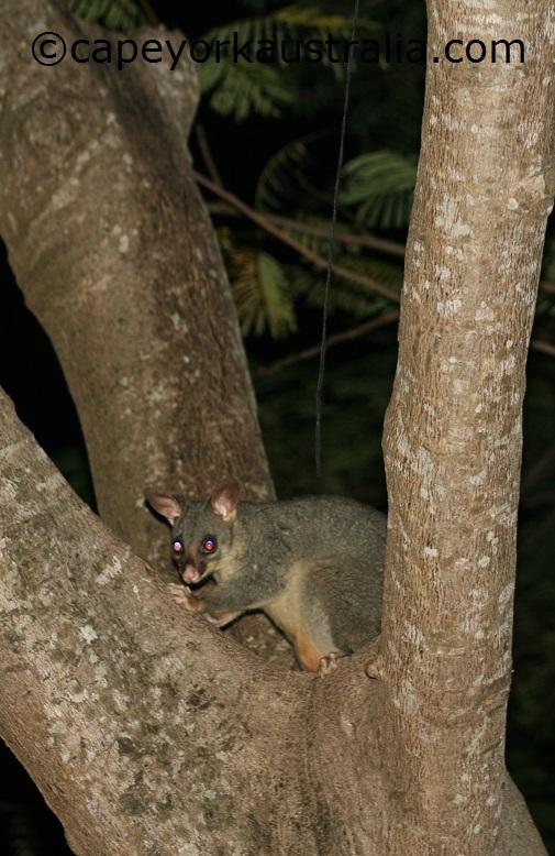australian possum