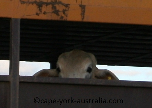 australian road trains cattle