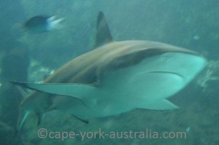 australian sharks