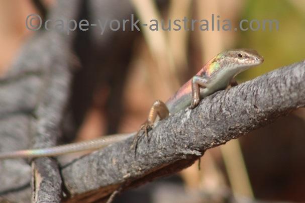 australian skinks
