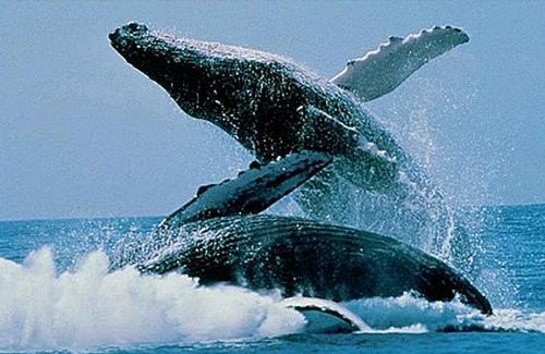 australian whales