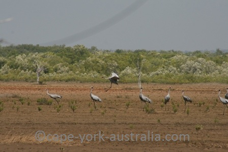 brolga birds