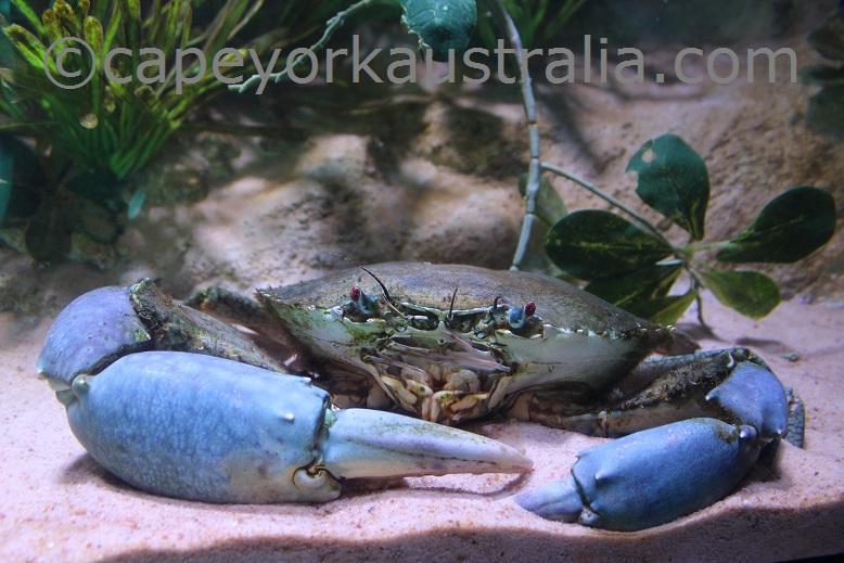 cairns aquarium crab