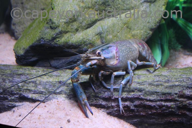 cairns aquarium cray fish