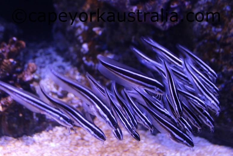 cairns aquarium fish school