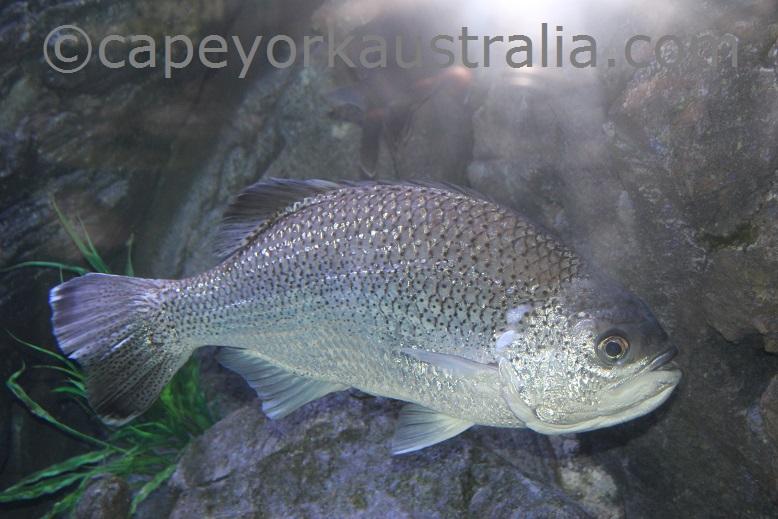 cairns aquarium river fish