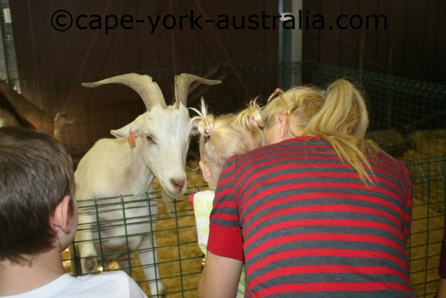 cairns show baby goat