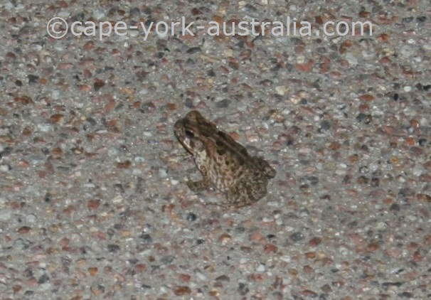 cane toad pest