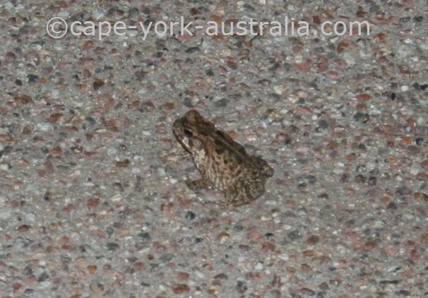 cane toad pest