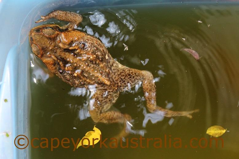 cane toad queensland