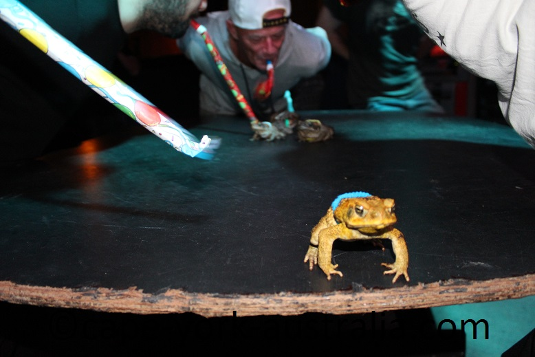 cane toad races