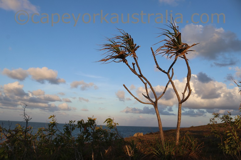 cape bedford pandanus palms