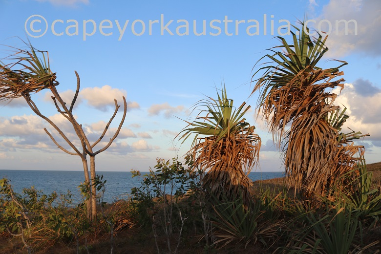 cape bedford screw palms