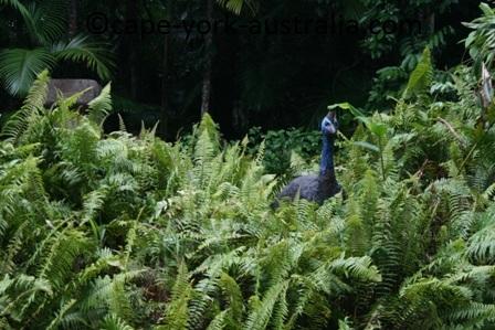 cape tribulation rainforest hideaway